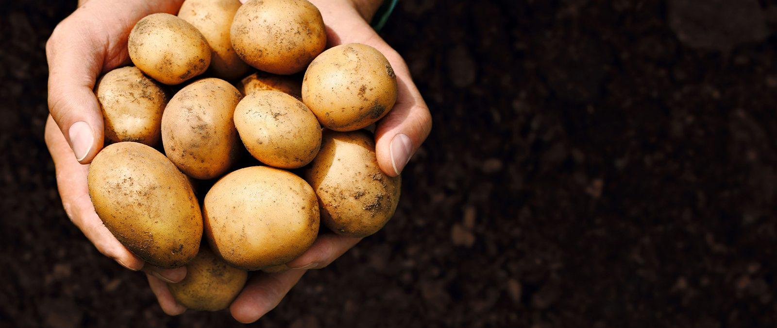 Zwei Hände halten Kartoffeln